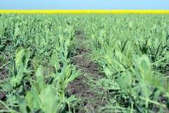 豌豆年轻新芽交错与藤反对天空和油菜籽领域 库存图片