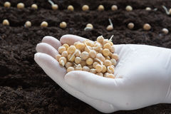 豌豆播种  库存图片