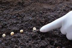 豌豆播种  库存照片