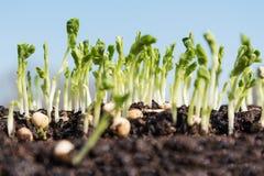 豌豆新芽 库存图片