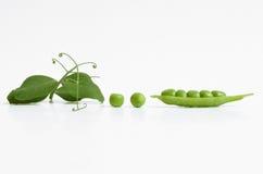 豌豆植物和仁 免版税图库摄影