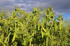 豌豆植物的领域 库存图片