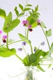 豌豆植物  库存图片