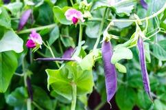 豌豆紫色荚  免版税库存图片