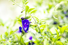 豌豆花和绿色叶子 免版税库存照片