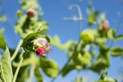 豌豆花在天空下 库存照片