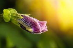 豌豆花或紫色花或者蝶粉花宏观射击  免版税图库摄影