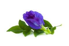 豌豆花或anchan花在白色背景 免版税库存图片