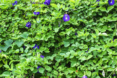 豌豆花 库存图片