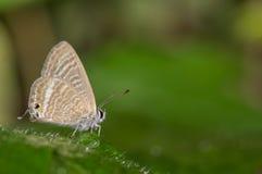 豌豆蓝色蝴蝶 库存图片