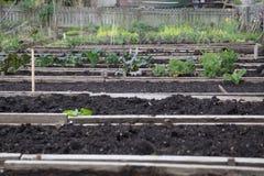 豌豆补丁被上升的床 免版税库存图片