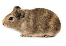 豚鼠属豚鼠试验品porcellus 免版税库存照片
