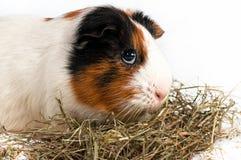 豚鼠,试验品 免版税图库摄影