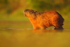 水豚, Hydrochoerus hydrochaeris,最大的老鼠在与晚上光在日落期间,动物在自然栖所, Pa的水中 免版税图库摄影