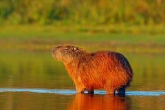 水豚, Hydrochoerus hydrochaeris,最大的老鼠在与晚上光的水中在日落,潘塔纳尔湿地,巴西期间 免版税图库摄影