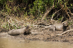 水豚洗泥浴的对 图库摄影