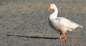 象一只鸭子白的鸭子的步行 图库摄影