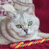 画象与美丽的眼睛的一只浅灰色的猫在与的红色背景被编织的手套用圣诞节糖果 免版税库存照片