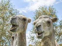 画象两三头骆驼(亲切的Camelius) 库存照片