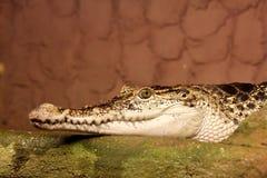 画象古巴鳄鱼,湾鳄rhombifer 免版税库存照片