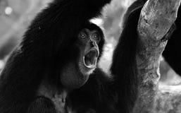 画象嗥叫猴子 库存图片