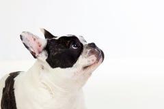 画象在一只逗人喜爱的牛头犬的演播室 库存照片