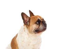 画象在一只逗人喜爱的牛头犬的演播室 图库摄影