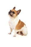 画象在一只逗人喜爱的牛头犬的演播室 免版税库存照片