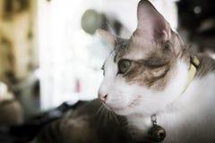画象在眼睛的暹罗猫焦点 过滤器作用减速火箭的葡萄酒样式 库存图片
