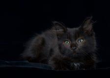 画象在黑色的绿眼的黑和棕色小猫 免版税图库摄影