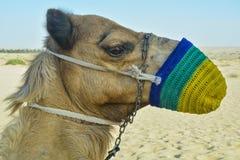 画象坐沙子和查寻在沙漠的射击了骆驼佩带的枪口在阿拉伯联合酋长国 免版税库存照片
