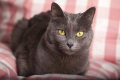 画象女性蓝色俄国黄色眼睛/卡尔特教团猫 库存图片