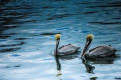 象征爱的美丽的鹈鹕 免版税图库摄影