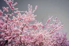 象春天樱花舞蹈的明亮的桃红色的火与风的在一个温暖的下午期间在秋天城市华盛顿 免版税库存照片