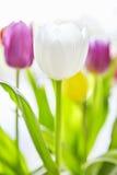 象春天的郁金香花束 免版税库存照片