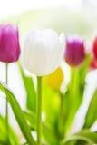 象春天的郁金香花束 库存照片