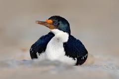 画象海鸟皇家粗毛 黑白鸬鹚细节与蓝眼睛的从福克兰群岛 有c开放票据的头  免版税库存照片