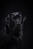 画象狗在演播室的品种黑色拉布拉多 库存图片