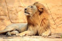 画象狮子 免版税图库摄影