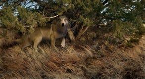 象狼的日落 免版税图库摄影