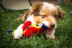 画象的一位小狗澳大利亚牧羊人 免版税库存照片