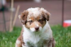 画象的一位小狗澳大利亚牧羊人 免版税库存图片