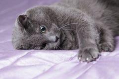 画象的嬉戏的英国shorthair猫关闭 免版税图库摄影