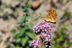 画象的美国小铜蝴蝶关闭 免版税图库摄影