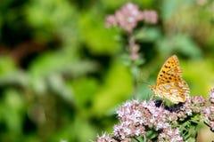 画象的美国小铜蝴蝶关闭 库存照片