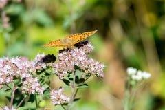 画象的美国小铜蝴蝶关闭 图库摄影