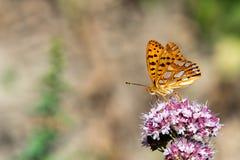 画象的美国小铜蝴蝶关闭 免版税库存图片