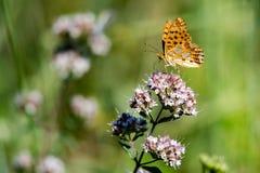 画象的美国小铜蝴蝶关闭 免版税库存照片