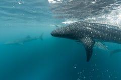 画象的鲸鲨关闭水下在巴布亚 库存照片
