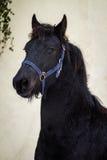 画象秀丽驹-黑白花的马公马 库存图片